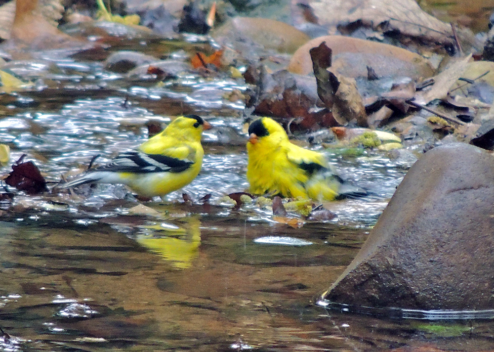 Monticello Park Birds American Goldfinch